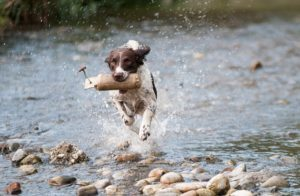 Training a dog how to duck hunt