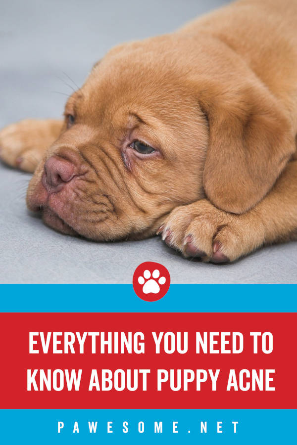 Everything You Need to Know About Puppy Acne