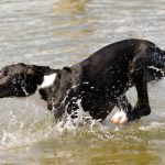 Can Great Danes Swim?