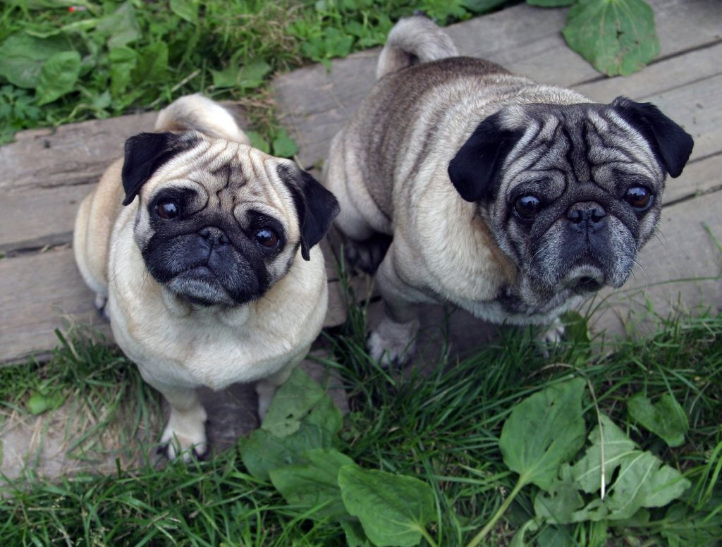 Pugs posing outside for the camera