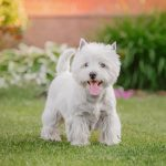 13 Common Health and Skin Problems to Watch for in Westies
