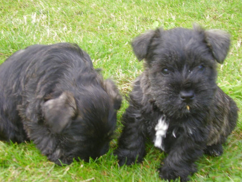Wauzer puppies in the grass