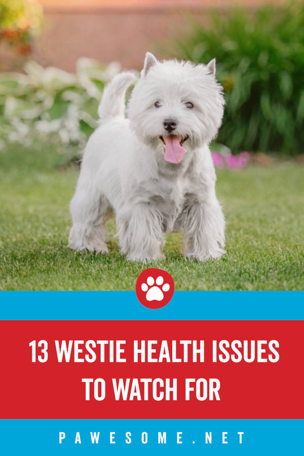 13 Westie Health Issues to Watch For