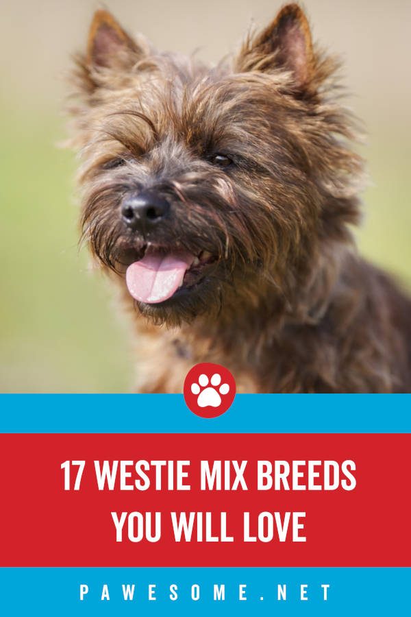 17 Westie Mix Breeds You Will Love