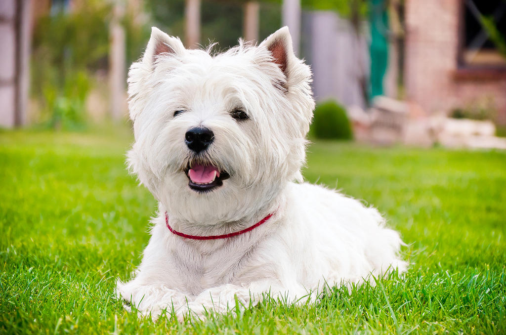 Well-groomed Westie posing in the grass