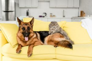 German Shepherd with cat on couch