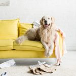 Are Golden Retrievers Good Apartment Dogs?