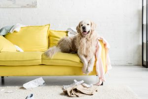 Golden Retriever on couch in an apartment