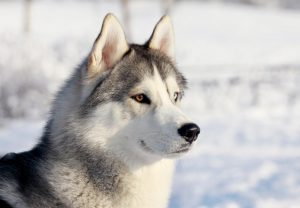 Husky with both blue and brown eyes in the snow
