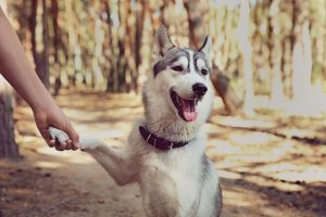Smart Husky shaking hands with owner