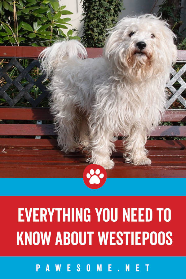 Everything You Need to Know About Westiepoos