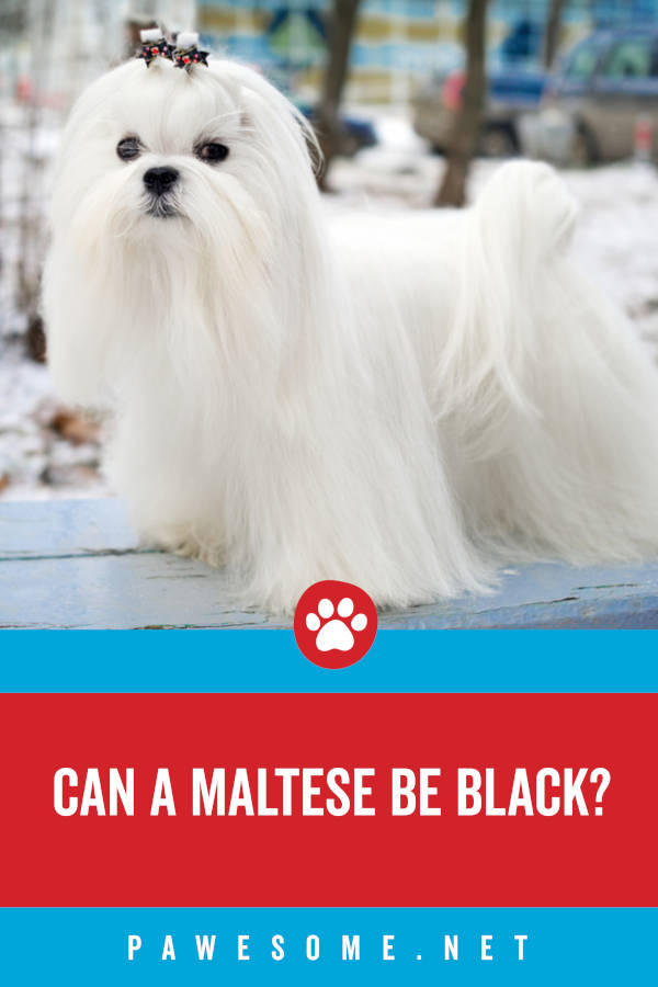 Can a Maltese be Black?