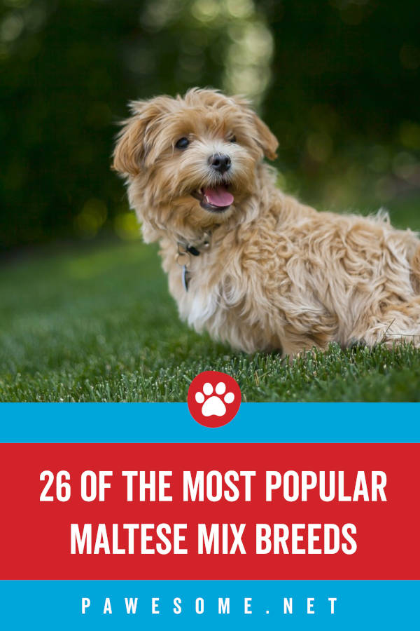 26 of the Most Popular Maltese Mix Breeds