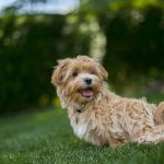 Maltese Mix Breeds: 26 of the Most Popular Mixes