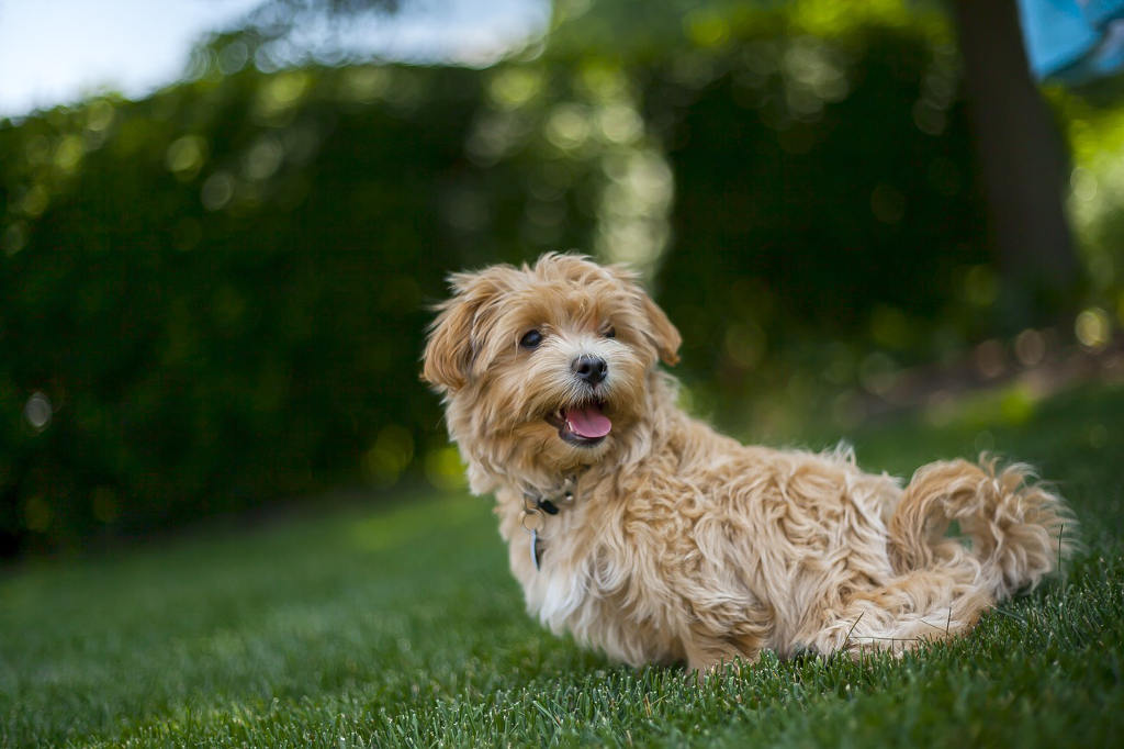 Maltipoo sitting in grass
