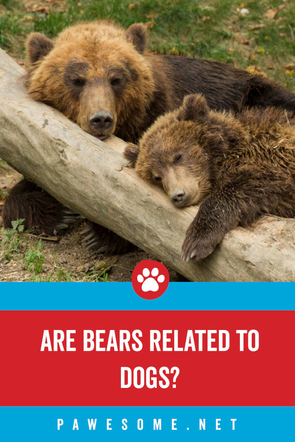 Are bears related to dogs?
