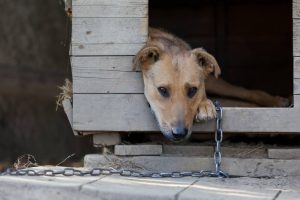 Dog chained up outside in kennel