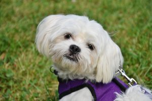 Maltese Out on a Walk