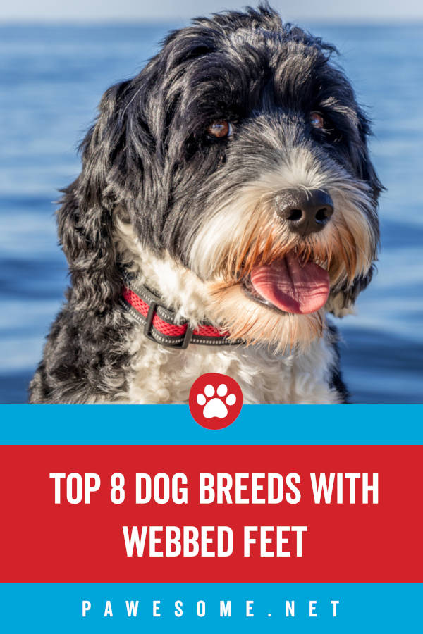 Top 8 Dog Breeds with Webbed Feet
