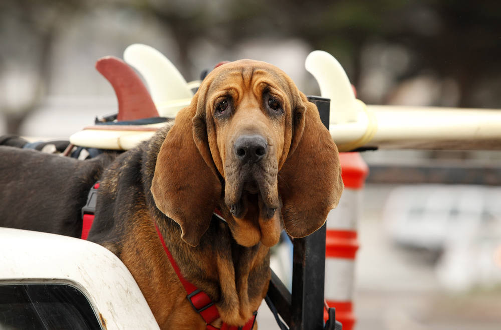 Bloodhound riding in the car