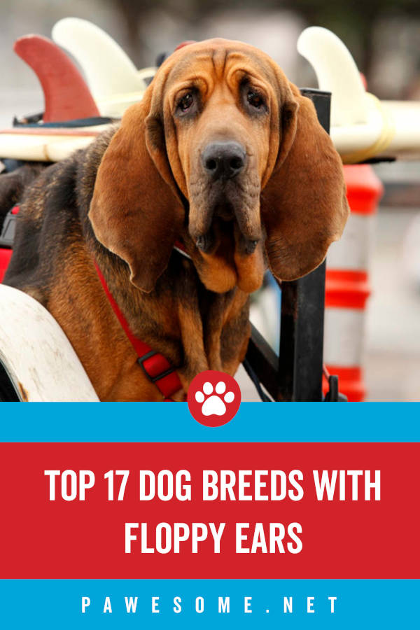 Top 17 Dog Breeds with Floppy Ears