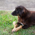 How Long Does a Rawhide Take to Digest in a Dog?