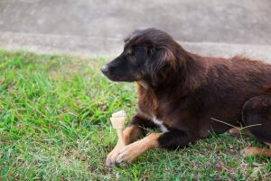 dog chewing rawhide bone in the grass