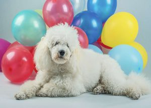 Dog scared of balloons