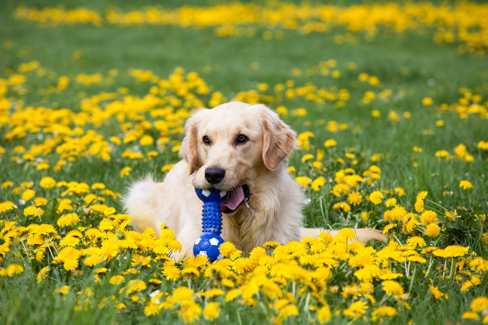 Golden Retriever playing with toy in a field