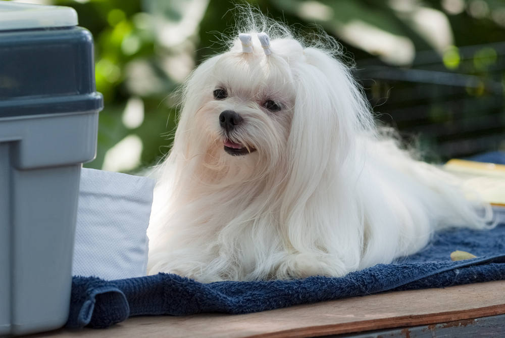 Maltese getting groomed for dog show