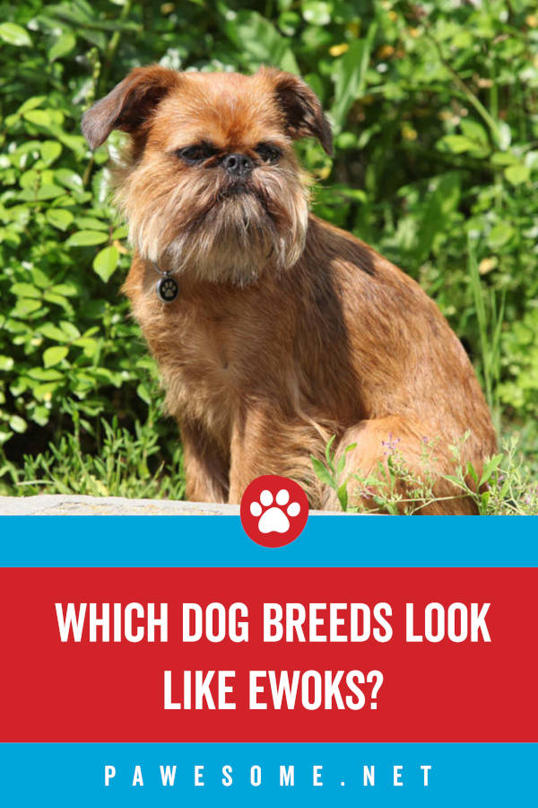 Which Dog Breeds Look Like Ewoks?
