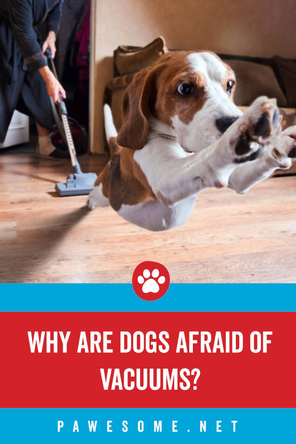 Why are Dogs Afraid of Vacuums?