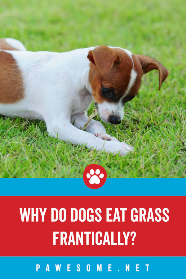 Why Do Dogs Eat Grass Frantically?