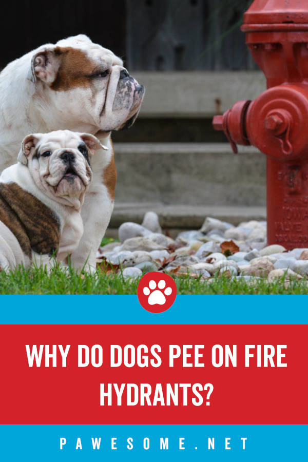 Why Do Dogs Pee on Fire Hydrants?