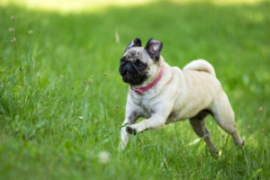 hyper pug running in the grass