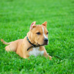 Are Pitbulls Smart Compared to Other Dog Breeds?