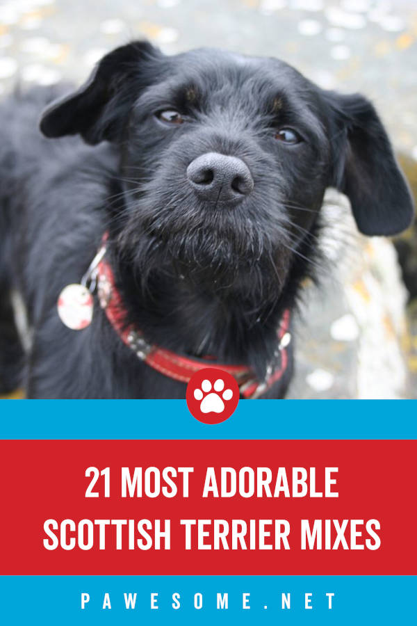 21 of the Most Adorable Scottish Terrier Mix Breeds
