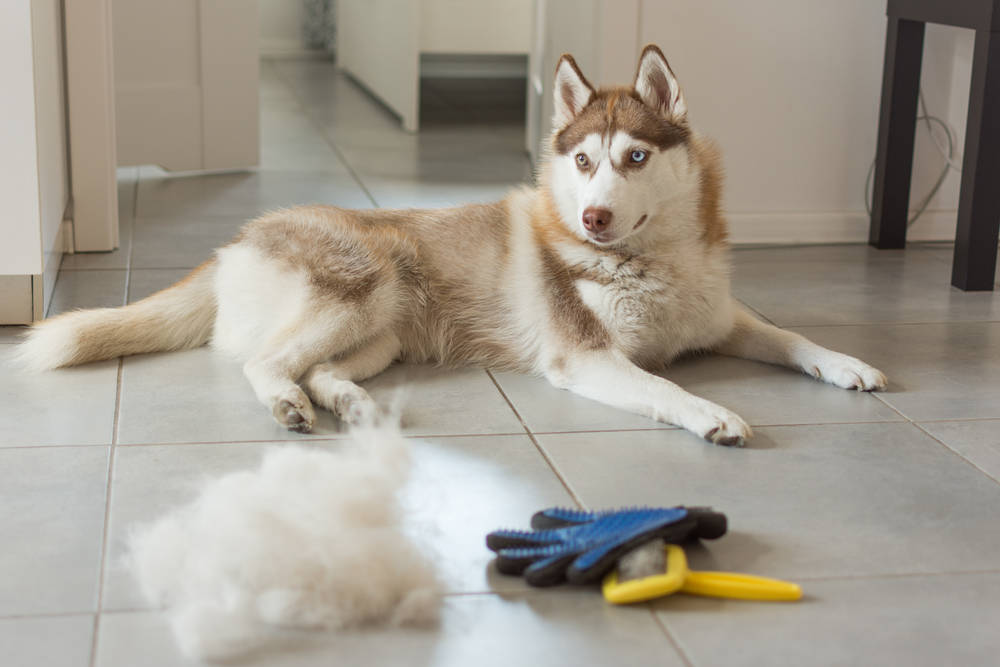 Siberian Husky after getting brushed