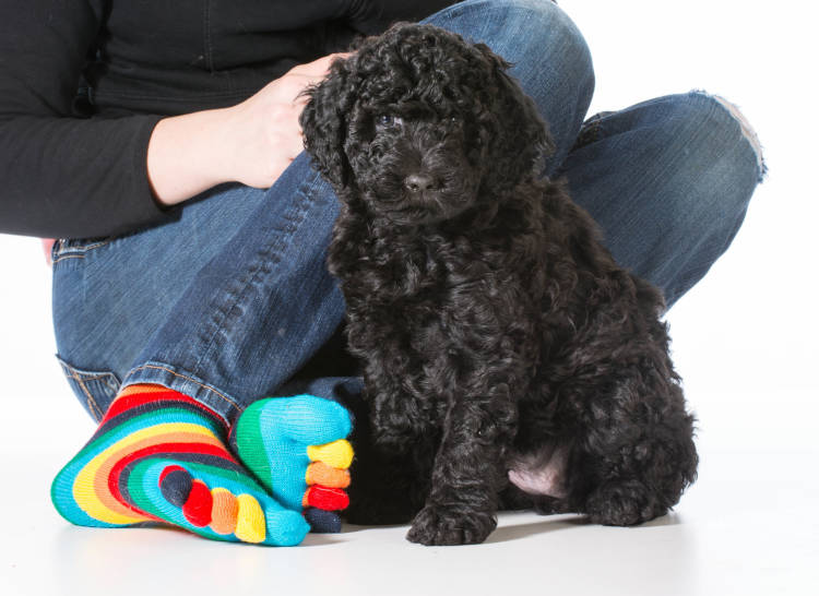 Barbet dog breed