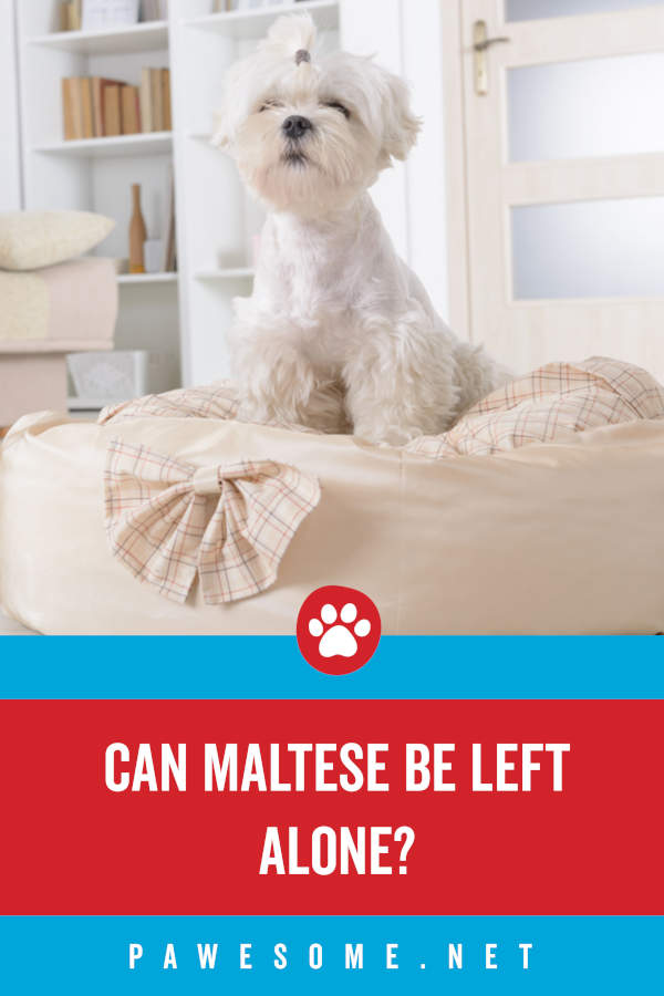 Can Maltese Be Left Alone?