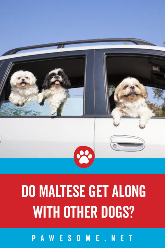 Do Maltese Get Along With Other Dogs?