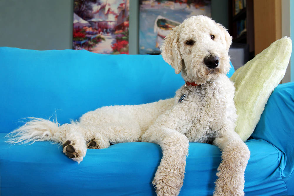 Goldendoodle sitting on sofa