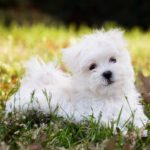 Maltese puppy in grass