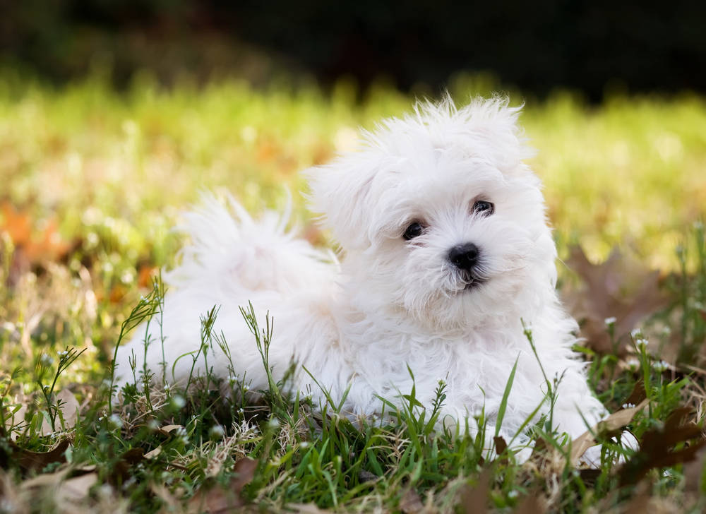 Maltese puppy sitting in the grass