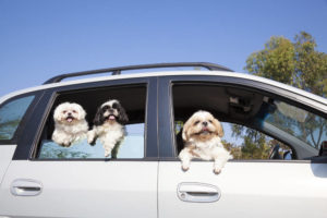 Maltese with other dogs in car