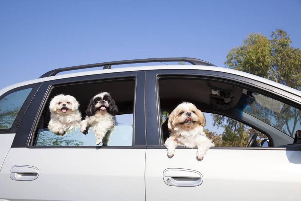 Maltese getting along with other dogs on a car ride.