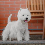 Well brushed and groomed Westie posing for a picture