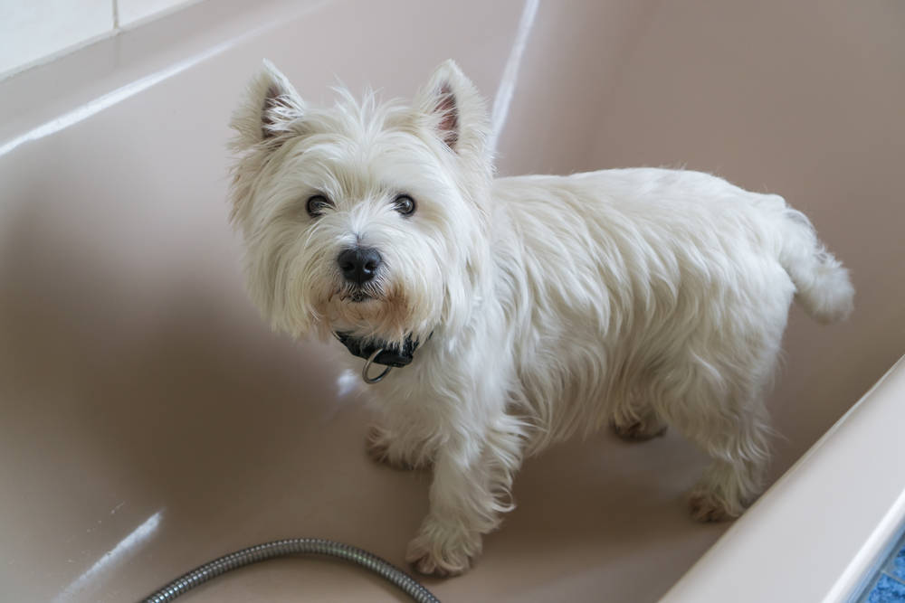 Westie getting ready for a bath.