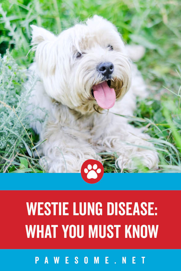 Westie Lung Disease What You Must Know