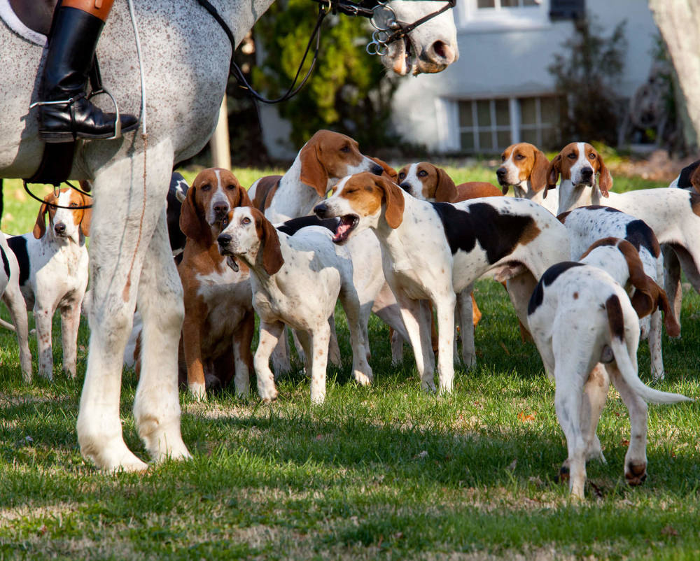 American Foxhound getting ready for the hunt
